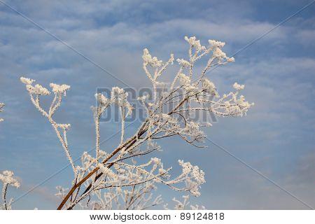 The branch in hoarfrost