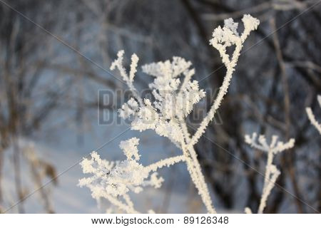 Dry grass in the frost in winter