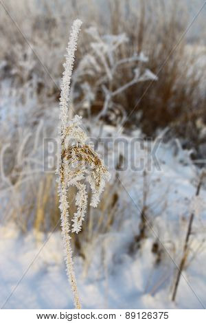 Ear in hoarfrost close-up