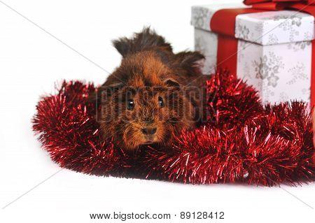 Brown Guinea Pig