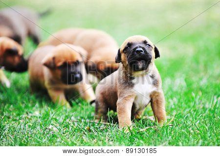 Puppies Belgian Shepherd Malinois