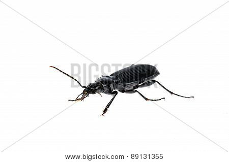 Black Beetle Very Close Up