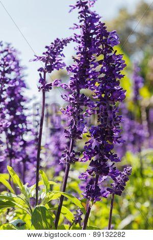 Purple Flower (blue Salvia)