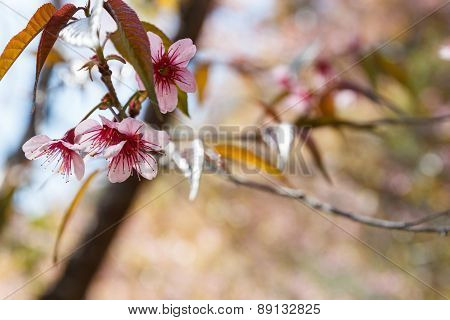 Blooming Pink Flower Of Wild Himalayan Cherry