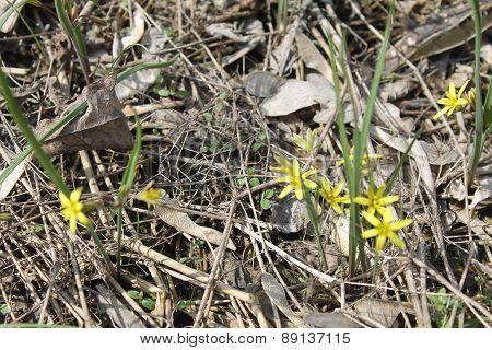 Gagea yellow