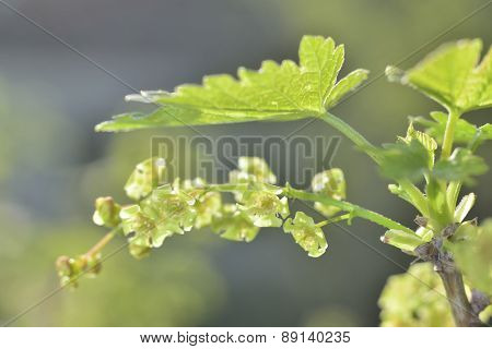 Green Currant Flowers