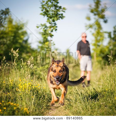Beautiful German Shepherd Dog (Alsatian) outdoors