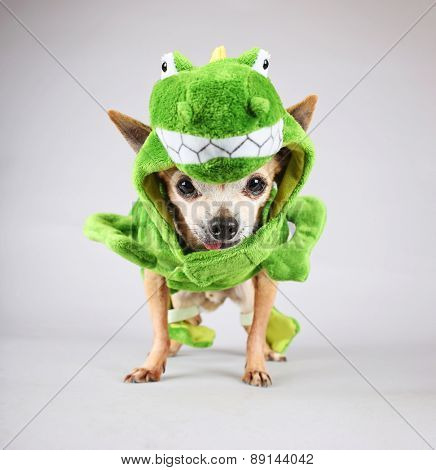 a cute chihuahua dressed up in a green dinosaur or a lizard costume isolated on a gray background