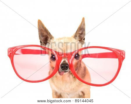 a cute chihuahua with giant pink and red sunglasses on isolated on a white background studio shot