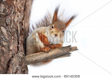 Squirrel On Tree Isolated