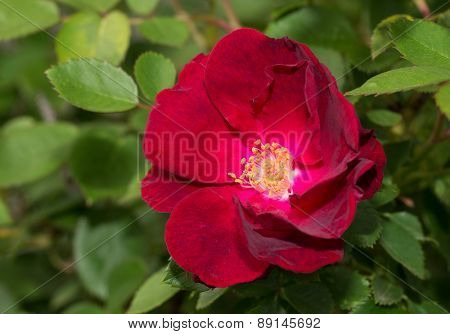 Deep red old style rose in the garden
