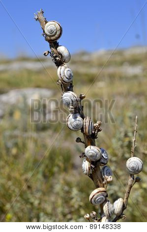 Close-up Of Snails On A Stick