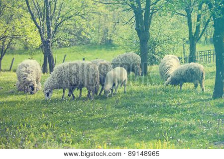 Sheep and lamb on green field in spring