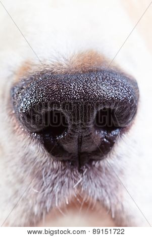 Nose Of A Beagle