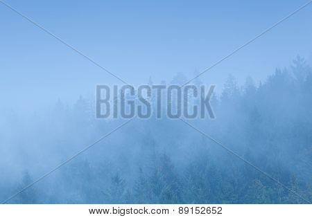 Coniferous Forest In Dense Fog