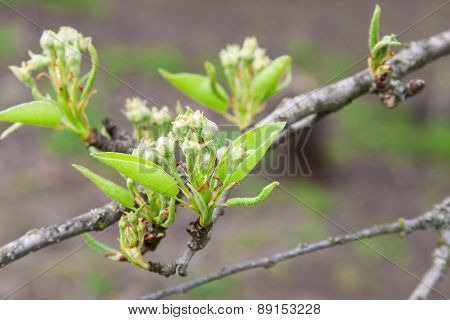 Twig Pear With Flower Buds