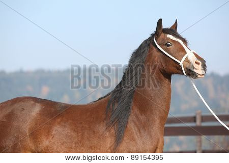Beautiful Welsh Cob Mare With Halter