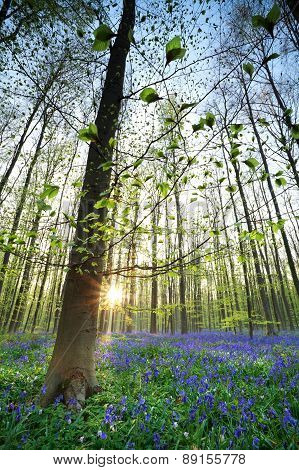 Sunrise In Bluebell Forest