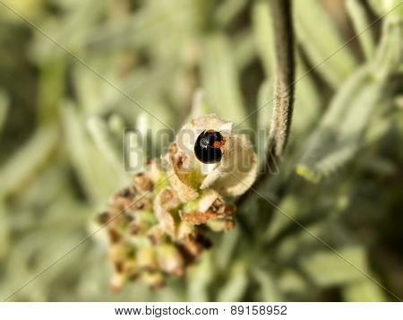 Ladybird on White Lavender