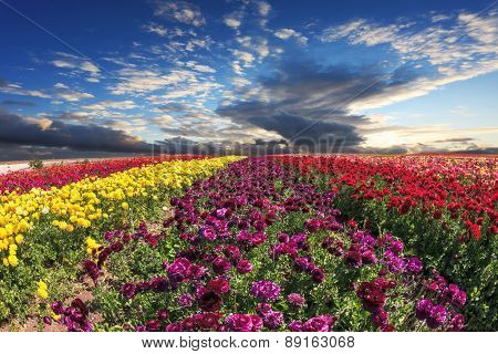 Spring wind farm on cultivation of buttercups - ranunculus garden. Large field of purple, yellow and red flowers