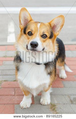 dog Pembroke Welsh corgi smiling