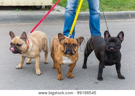 three domestic dogs French Bulldog breed