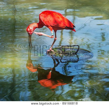 Scarlet Ibis With Reflection In Water