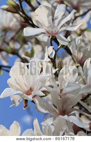Magnificent White Magnolia Blossom Close-up Vertical