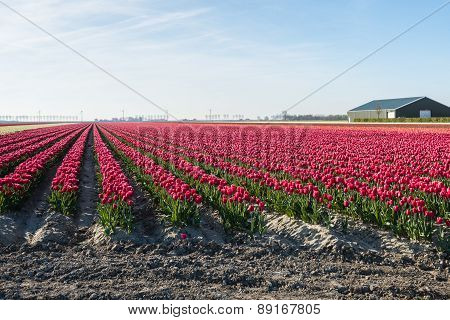Long Rows Of Red Blooming Tulips