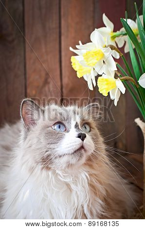 Ragdoll cat breed and a vase of narcissus on a wooden background