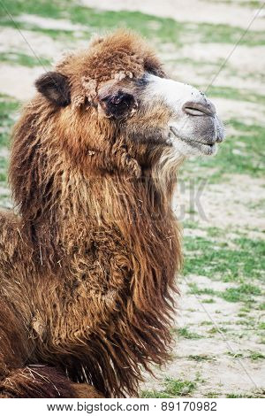 Bactrian Camel Portrait