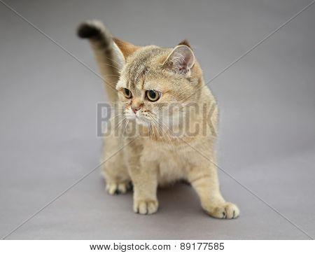 British Cat Golden Color
