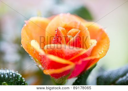 gardening, planting, floristics and flora concept - close up of rose flower