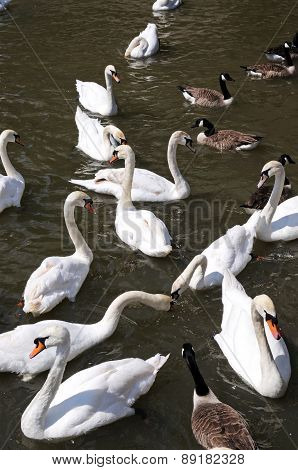 Swans on the River Avon.