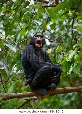 Bonobo On A Branch.