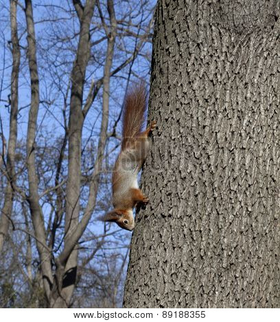 Red Squirrels On Tree