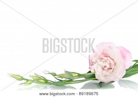 Beautiful Eustoma Flowers With Leafs And Buds On White Background
