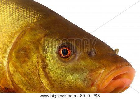 colored fish, carp, tench