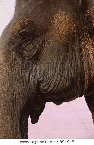 Asian (Indian) Elephant Head