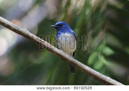 Hainan Blue Flycatcher Cyornis Hainanus