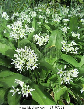 Flowering Wild Garlic