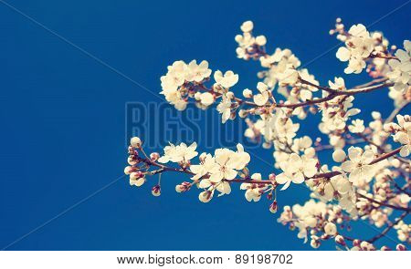 Cherry flowers on blue background