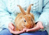 picture of dwarf rabbit  - Woman holding little cute rabbit - JPG