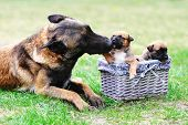 pic of shepherds  - female dog of belgian shepherds malinois with puppies - JPG