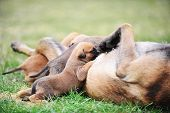 foto of belgian shepherd  - female dog of belgian shepherds malinois with puppies - JPG