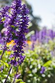 stock photo of clary  - purple flower  - JPG