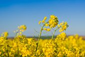 picture of cultivation  - Oilseed Rapeseed Flowers in Cultivated Agricultural Field Crop Protection Agrotech Concept Close up with Selective focus and Narrow Depth of Field - JPG