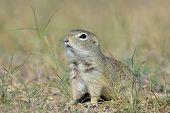 image of european  - cute European ground squirrel on field  - JPG