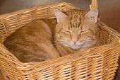 stock photo of tabby-cat  - Orange tabby cat happily sleeping in a wicker basket - JPG