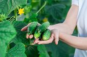 stock photo of cucumber  - Happy Young woman holding and holding cucumbers in a hothouse cultivated with green fresh cucumber plants - JPG